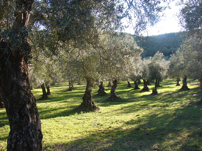 Olivar Sierra de Jabata